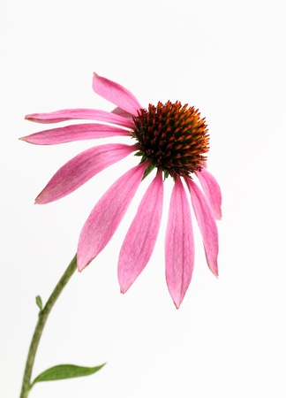 Echinacea of the purplish red photo