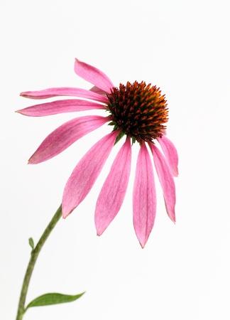 Echinacea of the purplish red