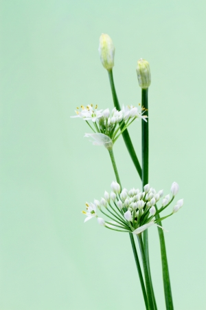 Flower of Leek Stock Photo