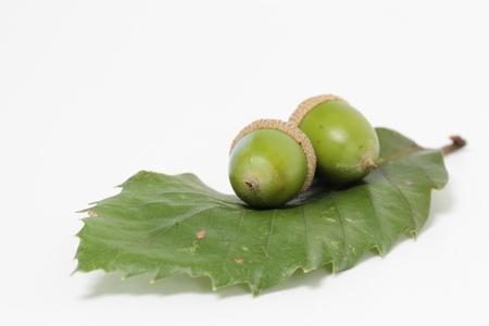 fagaceae: Acorn of the co-Japanese oak