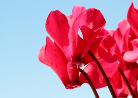 garden cyclamen and blue sky photo