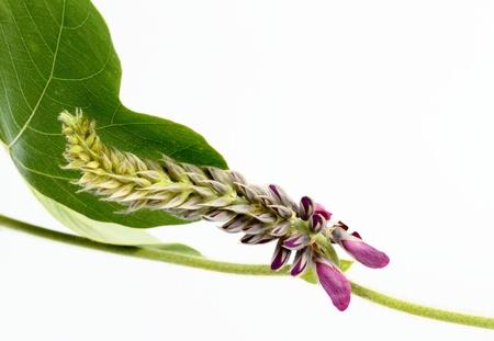 leguminosae: Flower of the kudzu Stock Photo