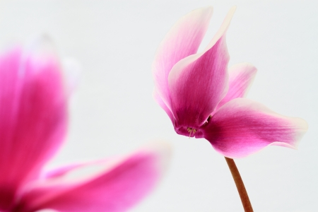 The cyclamen which is in love
