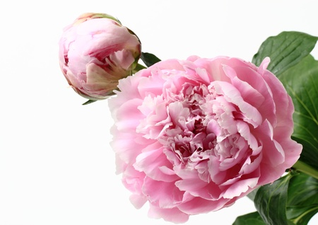 flower and bud of the peony
