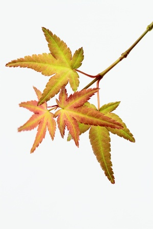 maple which has begun to change color Stock Photo - 15860029