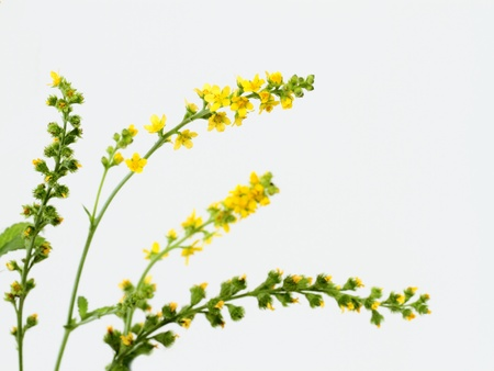 Arrangement of the Common agrimony Stock Photo