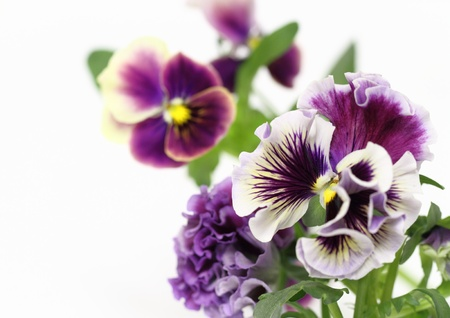 Pansy of the flower Stock Photo