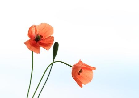 dubium: Pretty wild poppy