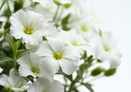Flower of the pure white Arenarear
