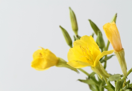 Evening primrose of the flower of the field Stock Photo