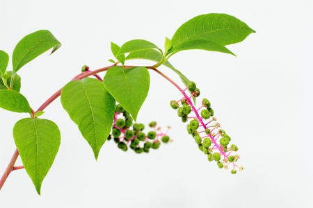 Phytolacca americana L  photo