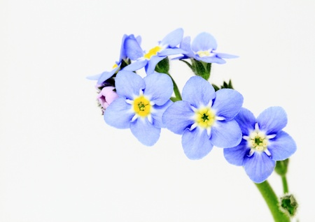 forget me not: Myosotis scorpioides of the white background