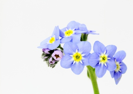 Myosotis scorpioides of the white background photo