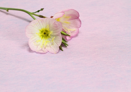 Pink evening primrose Stock Photo
