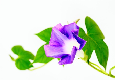 Morning glory of the bluish violet