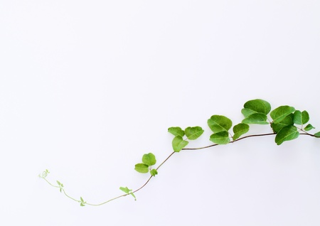 Background of green ivy