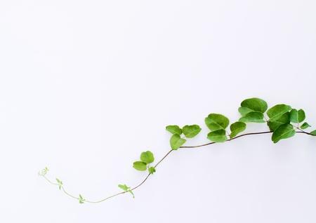 Background of green ivy Zdjęcie Seryjne