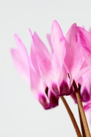 Pink garden cyclamen photo