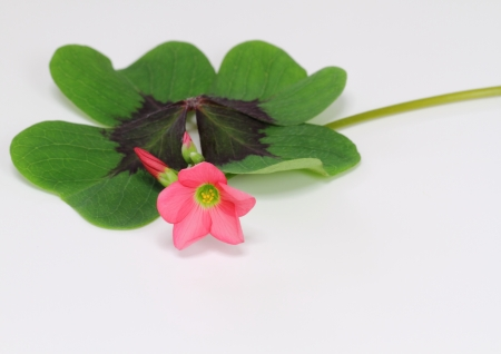 Oxalis of the lucky clover Stock Photo - 15900835