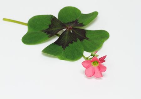oxalis: Oxalis of the lucky clover
