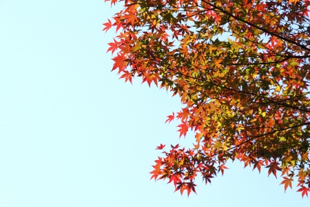 aceraceae: Japanese maple of the blue sky background