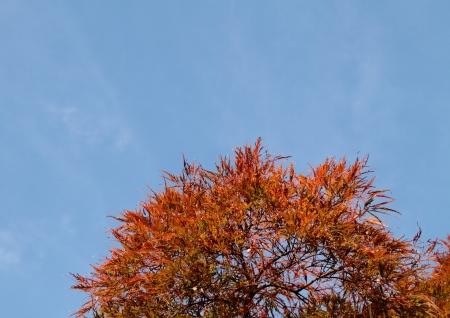 acer palmatum: Acer palmatum  Tamukeyama  with blue sky