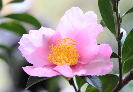 japanese flower camellia sasanqua photo