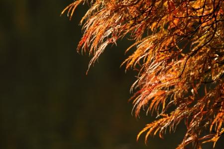 acer palmatum: Acer palmatum  Tamukeyama  Stock Photo