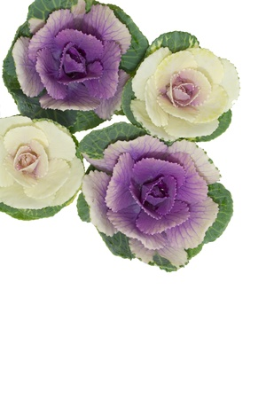 flowering kale: Mascot _ ornamental cabbage of New Year holidays in Japan