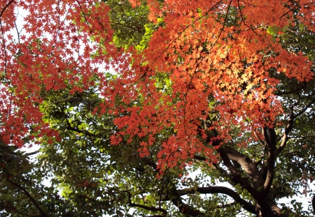 late fall: Bright Japanese maple of the late fall Stock Photo