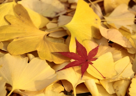 Red Japanese maple in the dead leaves of a yellow ginkgo photo