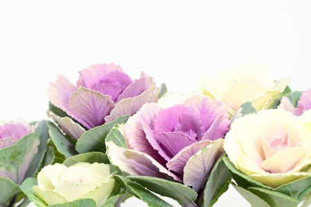 flowering kale: Decoration _ ornamental cabbage of the New Year in Japan