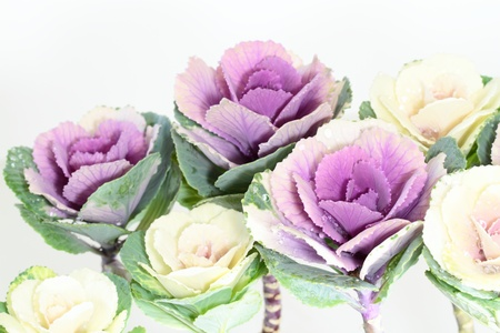 Decoration _ ornamental cabbage of the New Year in Japan
