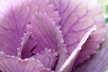 flowering kale: Up of beautiful ornamental cabbage of the light purple
