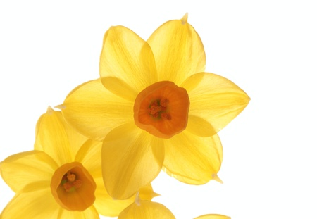 Beautiful narcissus of the early spring Stock Photo