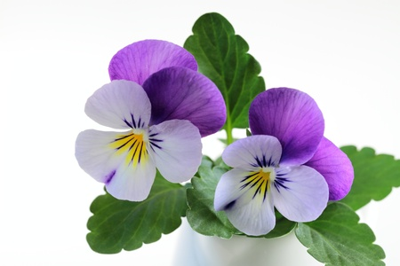 Pretty viola Stock Photo