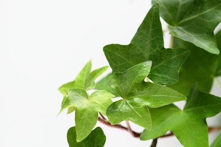 Green ivy leaf _ Pittsburgh