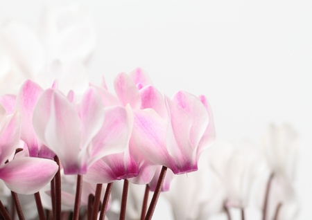 White and pink cyclamen