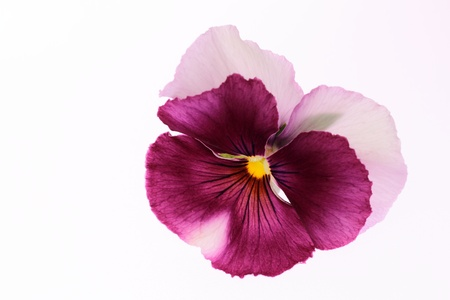 Pansy of the purplish red of the white background Stock Photo