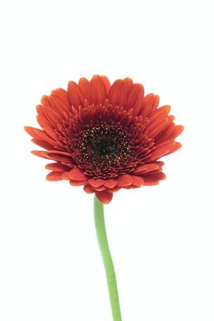 barberton daisy: Flower of a bright red Barberton daisy Stock Photo