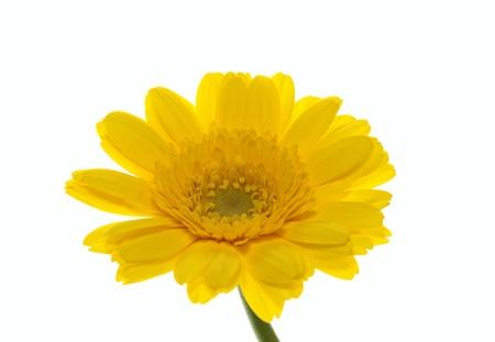 barberton daisy: Flower of a bright yellow Barberton daisy Stock Photo