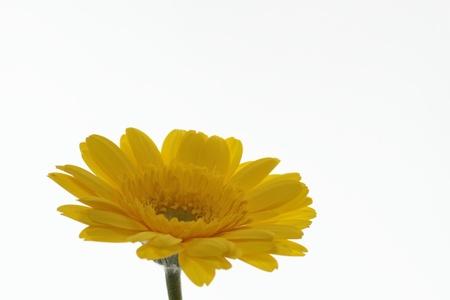 barberton daisy: The golden Barberton daisy which shines