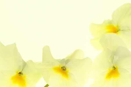 Background of a gentle yellow pansy