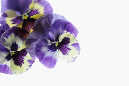 Background of the pansy of the bluish violet Stock Photo