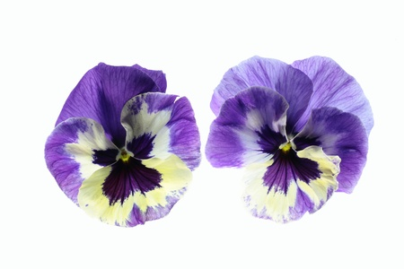 Pansy of the bluish violet of the white background
