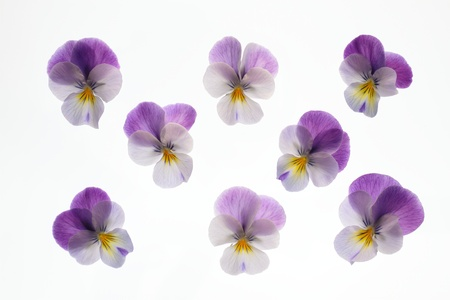 Background of a pretty purple viola