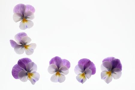 Background of a pretty purple viola