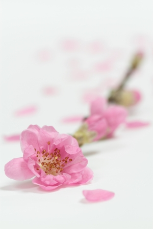 Beautiful peach blossom of the white background photo