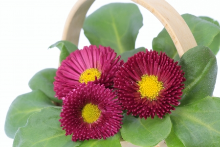 flower basket: Flower basket of a red daisy