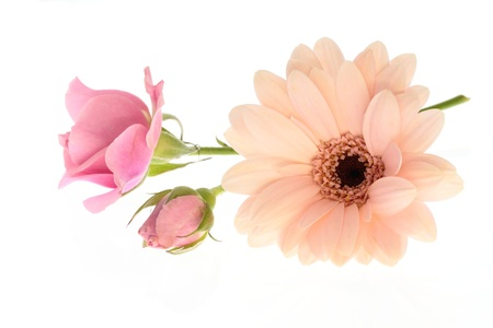 barberton daisy: Pink miniature rose and Barberton daisy of the white background Stock Photo